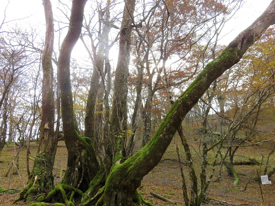 石棚山(石棚山稜)巨木桂の木