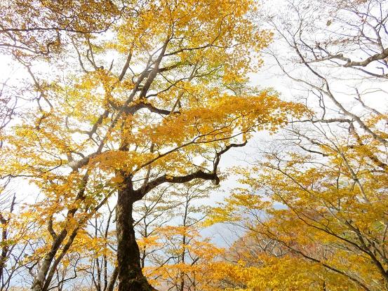 石棚山の周辺の天然林の紅葉