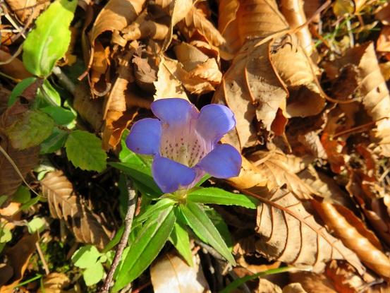 石棚山稜の尾根花