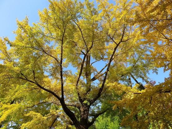 神奈川県庁キング周辺のイチョウの紅葉