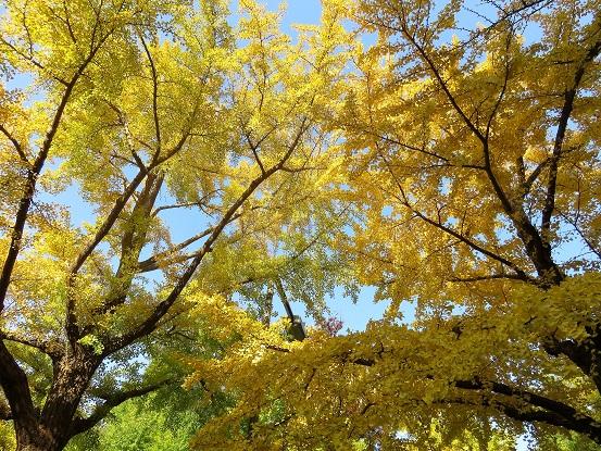 日本大通沿いのイチョウ並木紅葉