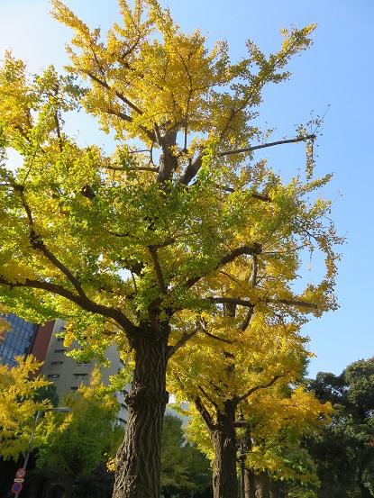 日本大通りの黄色イチョウ紅葉
