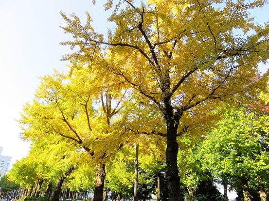 日本大通り(山下公園)付近のイチョウ並木