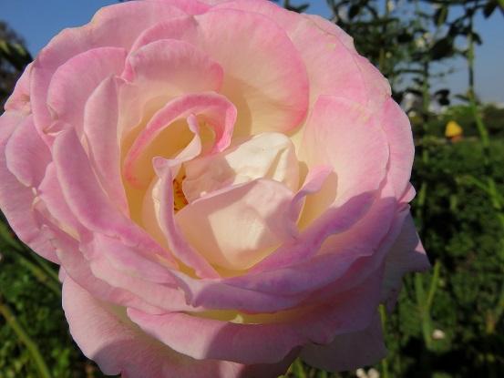 重厚感あふれるバラ