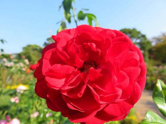 ワインレッド色薔薇