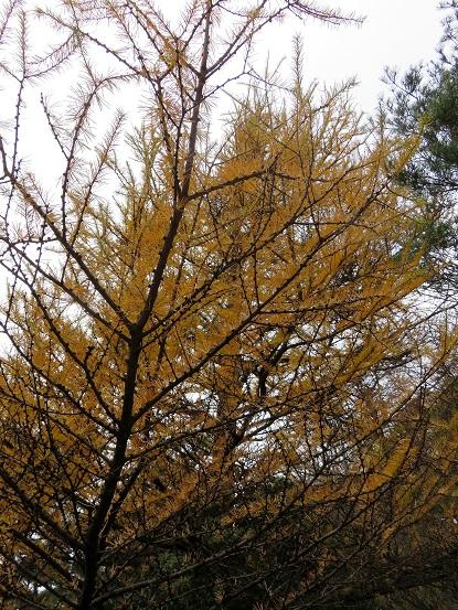 袖平山周辺落葉松の木