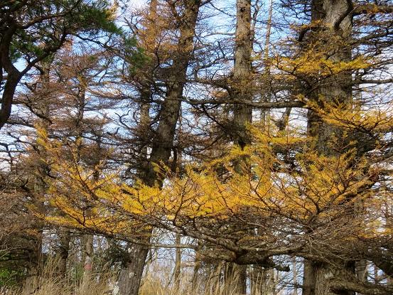 袖平山山頂周辺の落葉松の紅葉