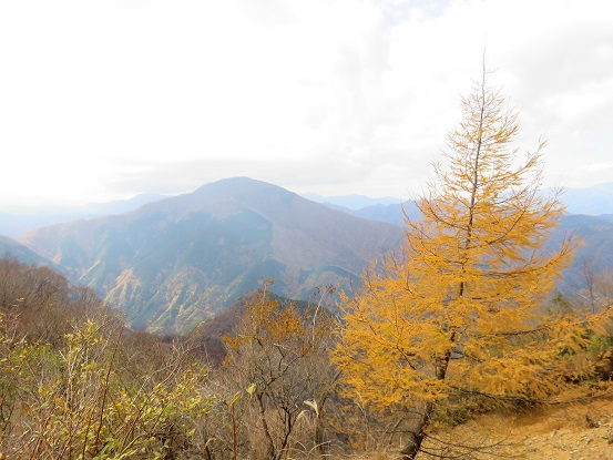 風巻尾根の落葉松の紅葉