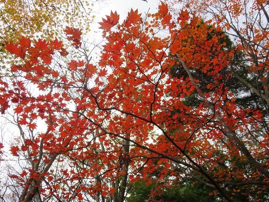 風巻尾根の標高が下がり紅葉地帯