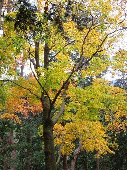 大山北尾根紅葉が見頃