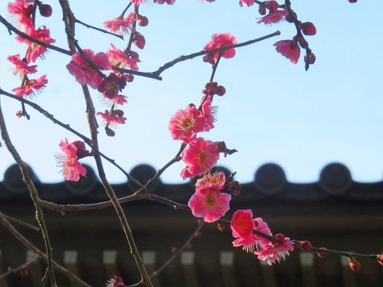 高尾山の梅の花