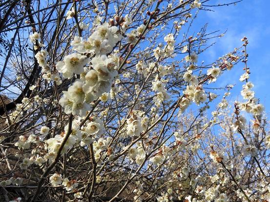 大山、三峰山、鍋嵐周辺の梅の花