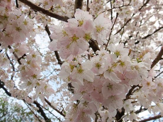 谷峨駅周辺の桜