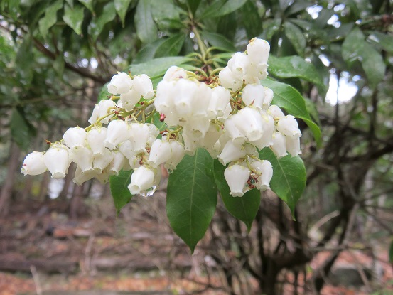 アセビ(馬酔木)の花