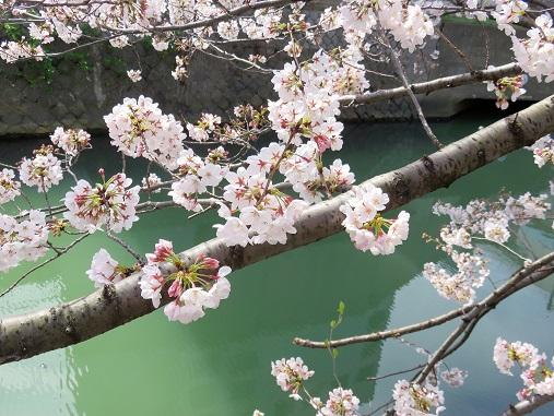 横浜平沼橋・戸部周辺の桜