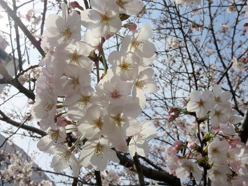 ソメイヨシノのお花
