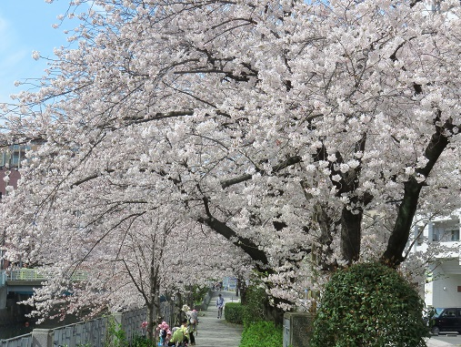 横浜穴場桜スポット