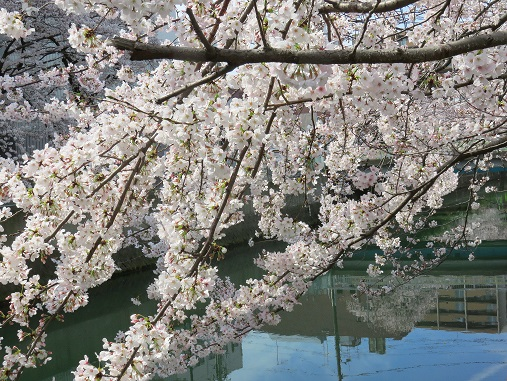 本当に穴場の横浜桜スポット