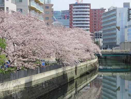 桜が散ると、川面が桜の薄ピンク色に染まり
