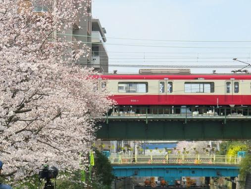 京急本線と桜のコラボ