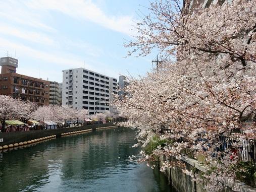 大岡川沿いにある、桜並木