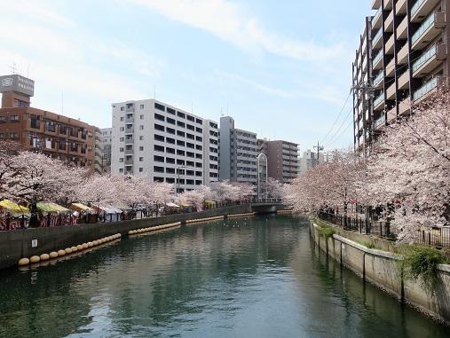 桜木町・日ノ出の大岡川サクラ