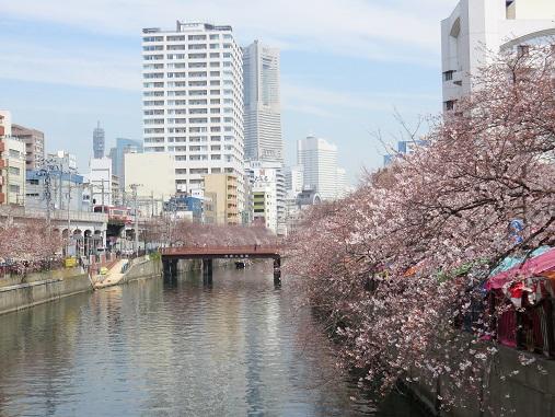 横浜らしい桜の構図ランドマークタワー