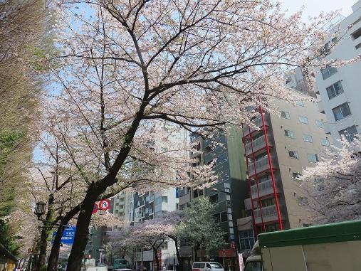 「靖国通り」の桜