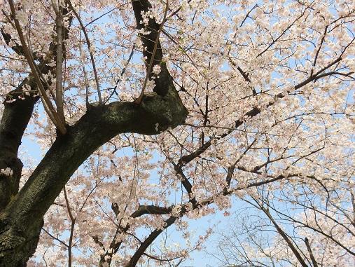 靖国通り桜満開