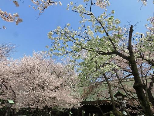 靖国神社の桜絶景