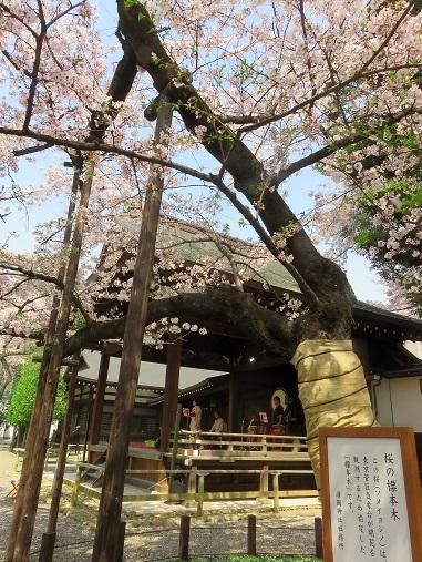 靖国神社にある「標本木」