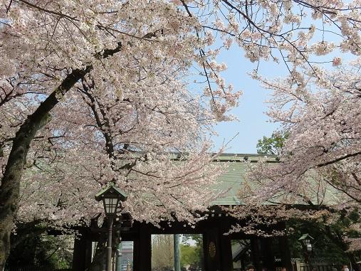 日本で一番美しいのが桜の時期