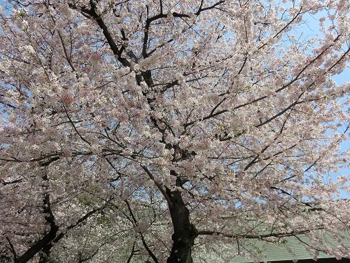 靖国神社の桜も、今月いっぱいは十分楽しめる
