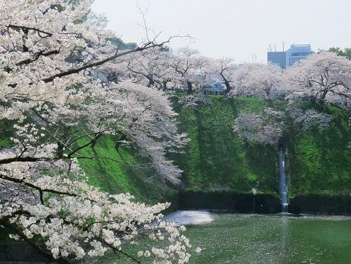 「北の丸公園」の入口付近の桜