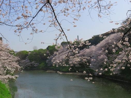 皇居清水門方面のお堀の桜