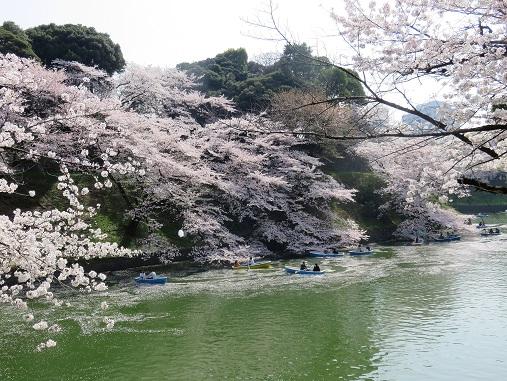 桜が咲くとTVでよく放送している千鳥ヶ淵