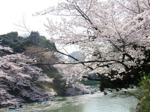 千鳥ヶ淵も桜が満開