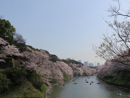 桜が満開で幸せ