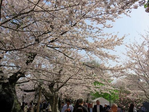 千鳥ヶ淵緑道桜