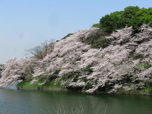 千鳥ヶ淵の夜桜も見てみたい