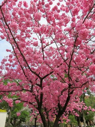 「横浜スタジアム」周辺の桜