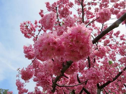 河津桜のように濃いピンク色の桜