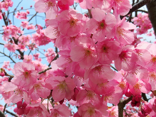 山下公園の桜