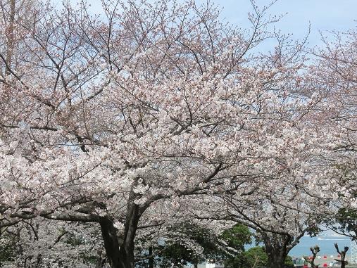 山下公園の桜並木