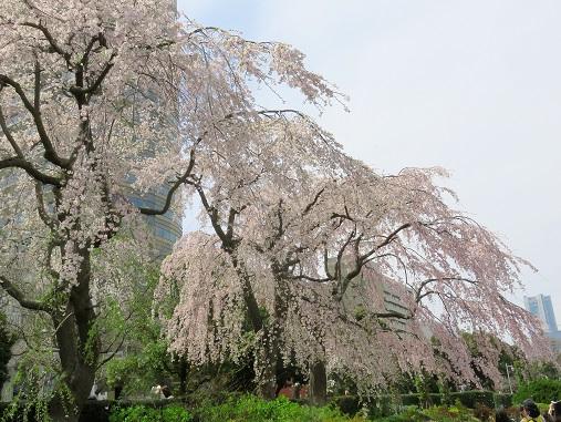 枝垂桜満開