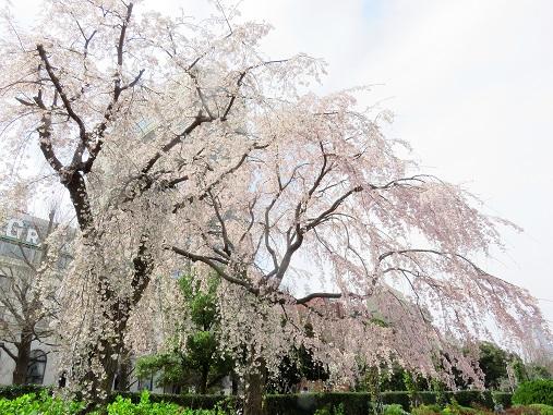 満開枝垂桜