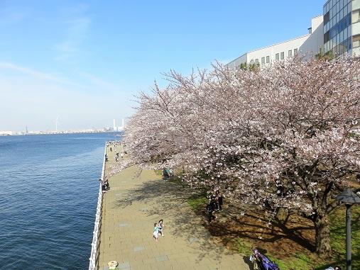 港と桜のコラボレショーン