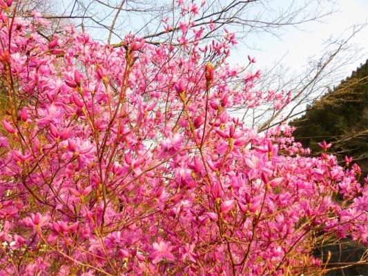 奥多摩周辺の桜