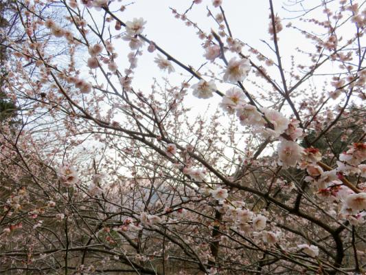 水根の集落桜