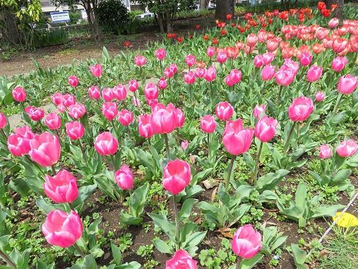 横浜公園内のチューリップ